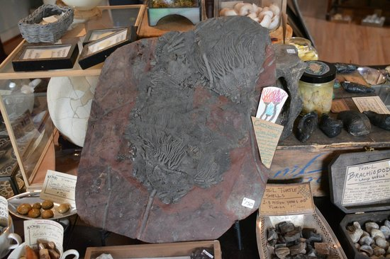 "The Rock & Art Shop: Crinoid fossil in the ""museum for sale"""