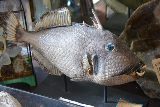 "The Rock & Art Shop: A triggerfish in the upstairs ""museum"""