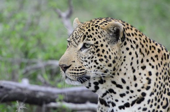 Elephant Plains Game Lodge: Leopard in Sabi Sands