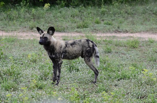 Elephant Plains Game Lodge: Wild dog