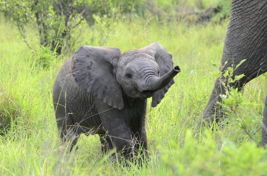 Elephant Plains Game Lodge: Baby elephant