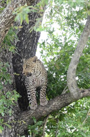 Elephant Plains Game Lodge: Leopard in a tree