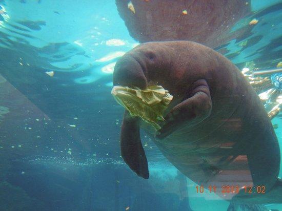 Manatee Park: Not from the Park: Mote Aquarium, Sarasota, FL