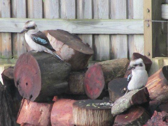 Surfpoint Resort: Kookuburras on woodpile
