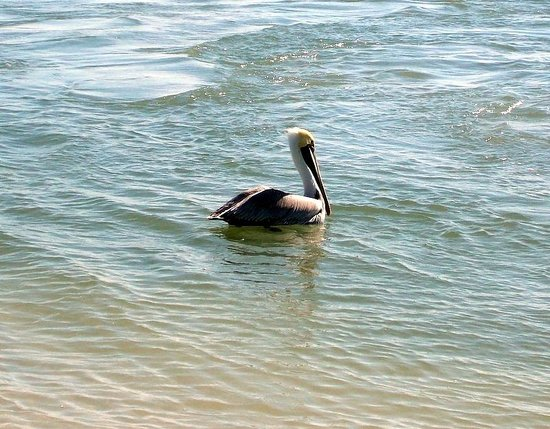 New Smyrna Town Beach: Friendly pelican