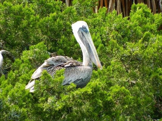 Turtle Mound National Historic Site: pelican in the bush