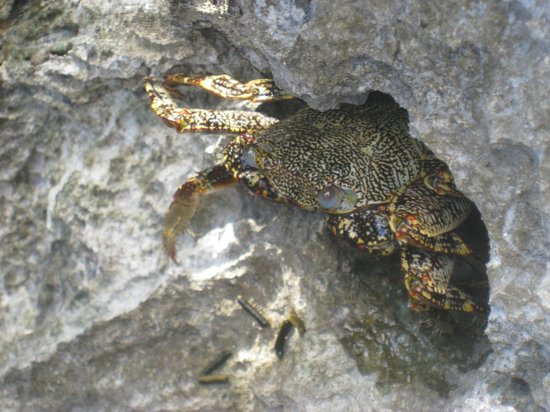 Paamul Hotel: Crab in the rocks