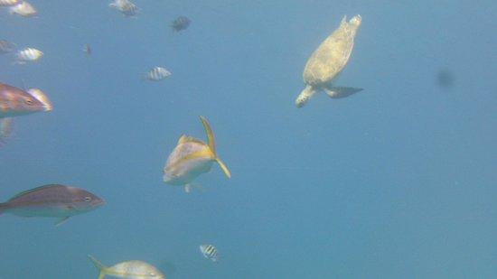 Yellow Submarine: tortue