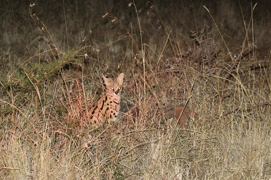 andBeyond Klein's Camp: A great viewing of the serval - picture not great but we stayed 45 minutes with him.