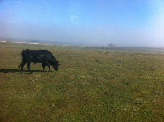 Faenas Camperas: taureau