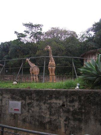 Sao Paulo Zoo: Girafas