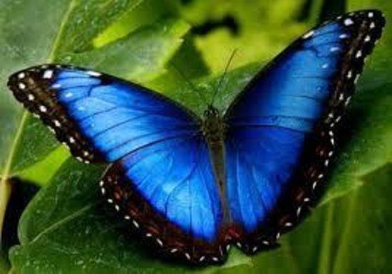 Diquis Del Sur : mariposa morpho