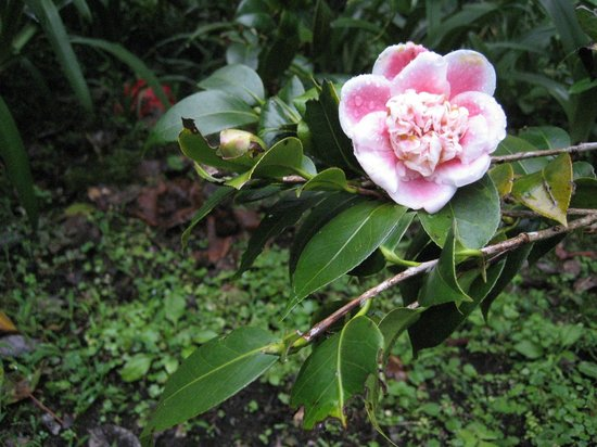 Tanah Rata, Malezya: another camellia