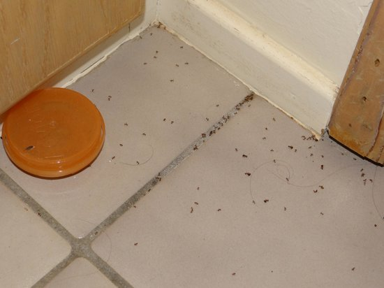 Maui Tradewinds: Ant cup in laundry room with ants