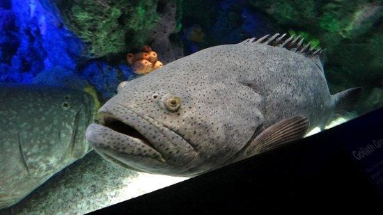 Ripley's Aquarium Of Canada: goliath grouper