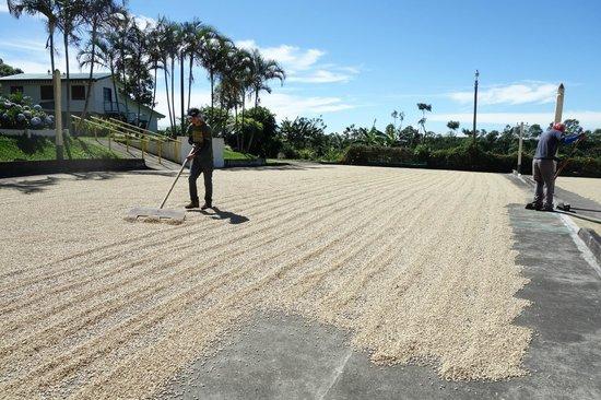Doka Estate Coffee Tour: drying the coffee beans