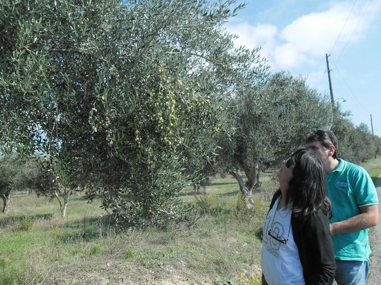 TaxiKatakolo Tours to Ancient Olympia: Olives Tutorial by Andreas