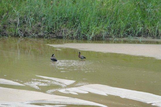 Tamboti Satellite Camp: Patos en el río
