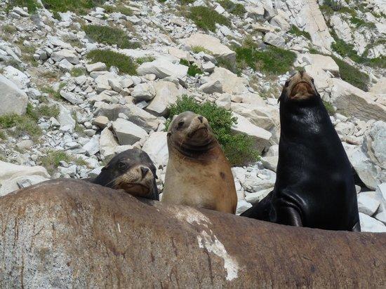 Cabo Azul Resort : Sea Lions at Cabo Pulmo