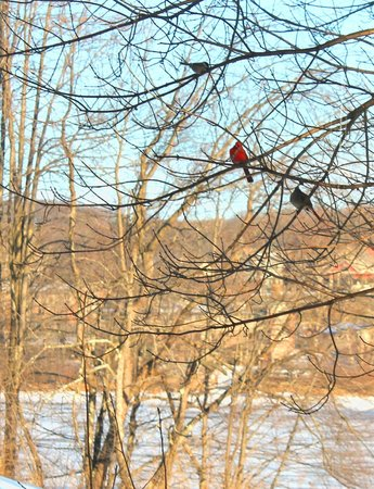Lake Pointe Inn: A cardinal pair in tree outside dining room