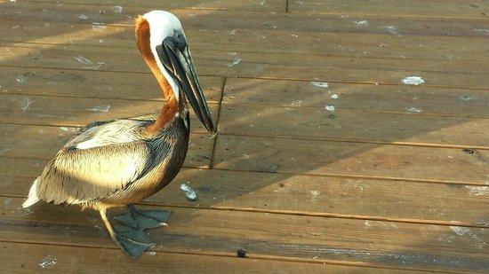 La Guancha : Poised pelican