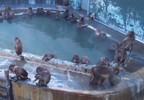 Hakodate Tropical Botanical Garden: 函館市熱帯植物園の猿