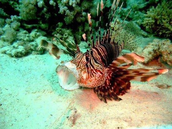Divers' Lodge : Feeding Lion Fish