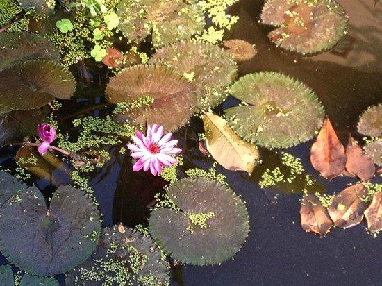 Baan Lotus Guest House : Lotus at the pond