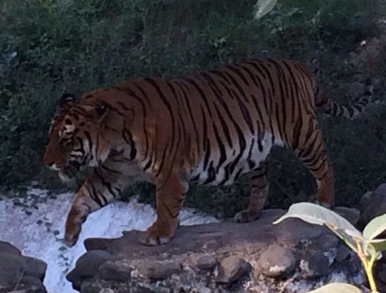 Panchkula, India: The Royal Bengal tiger at the chattbir Zoo
