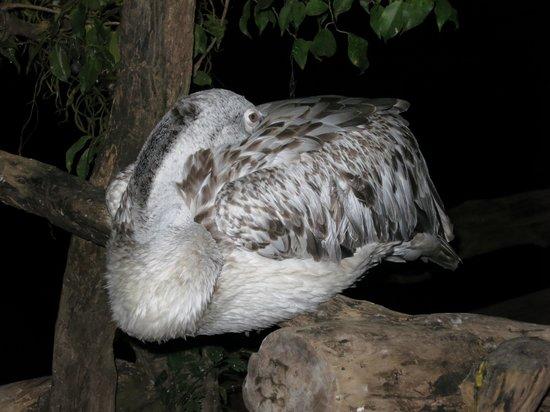 Khaomao-Khaofang Restaurant : Beware of the resident pelican