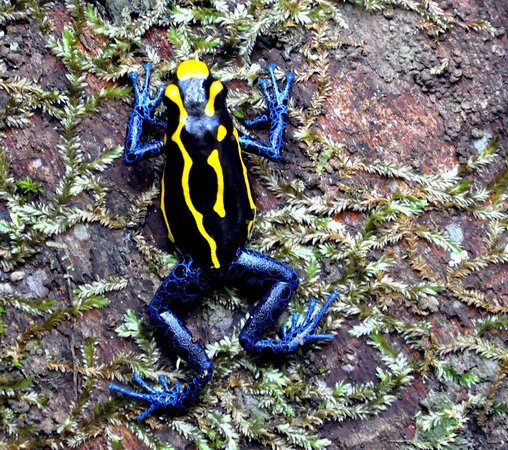 Kabalebo Nature Resort: Blue frog (dendrobates tinctorius)