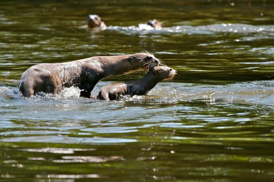 Kabalebo Nature Resort: Giant otters