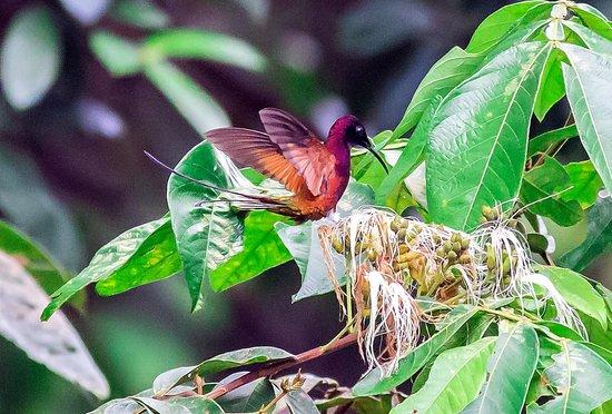Kabalebo Nature Resort : Humming bird (Crimson Topaz)