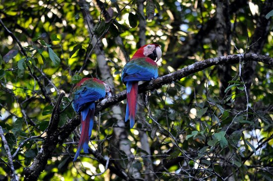 Kabalebo Nature Resort: Green Scarlet Macaw