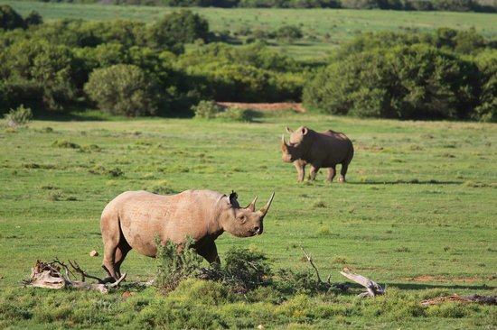 Kwandwe Uplands Homestead: Black and white rhino together