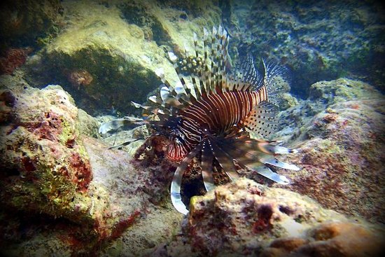 Koh Racha Yai: Lionfish at Batok Bay