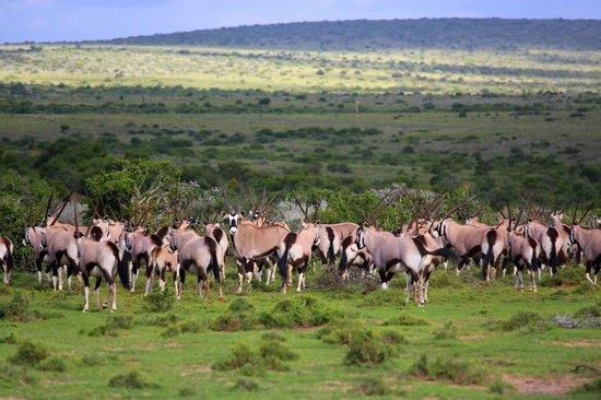 Kwandwe Uplands Homestead: Gemsbok herd
