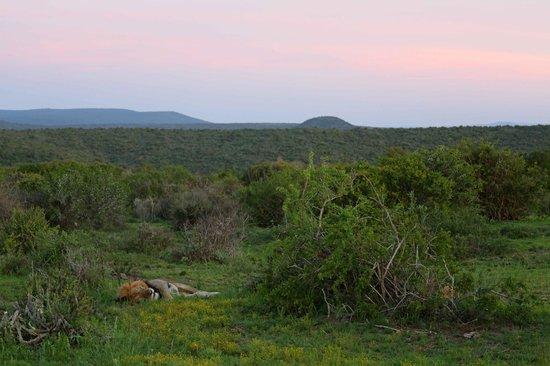 Kwandwe Uplands Homestead: Lion
