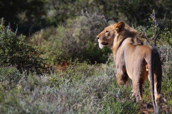 Kwandwe Uplands Homestead: Young male lion
