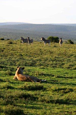 Kwandwe Uplands Homestead: Lion with zebras