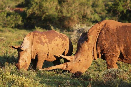 Kwandwe Uplands Homestead: White rhino