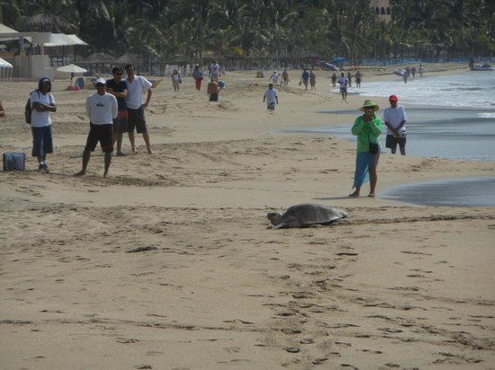 Sunscape Dorado Pacifico Ixtapa: Turtle came up to the beach to lay eggs