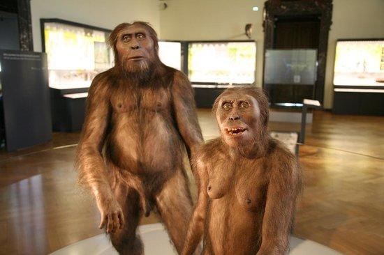 Muséum d'histoire naturelle de Vienne : Australopithecus afarensis