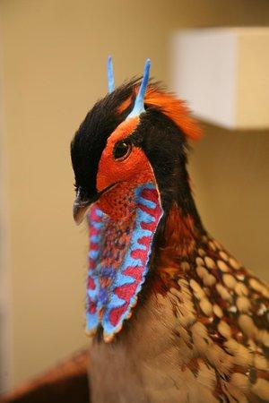Muséum d'histoire naturelle de Vienne : Cabots saterhoen (Tragopan Caboti)