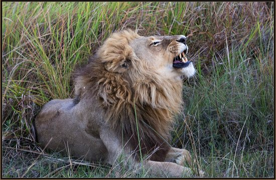 Kwetsani Camp: Male lion outside of den, Jao Concession