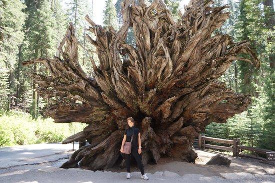 Mariposa Grove of Giant Sequoias: le radici