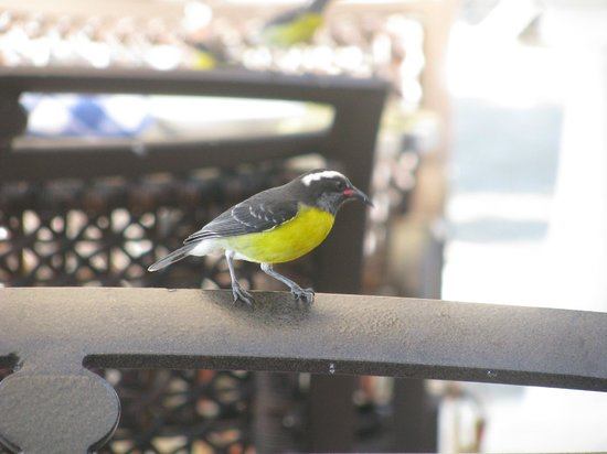Sandals Grande Antigua Resort & Spa: Join the bananaquits for breakfast at Bayside