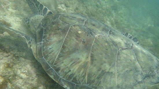 Baia do Sancho : tartaruga