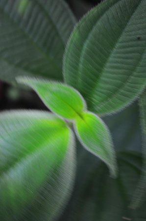 Orquideas Moxviquil : Velvet leaf