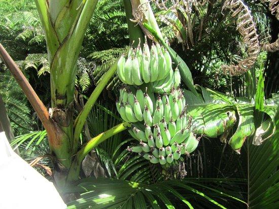 A Tranquil Place B&B: banana trees